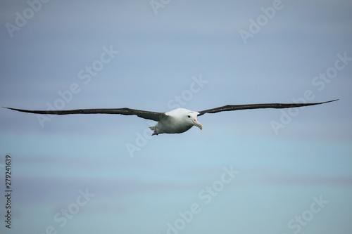 Valokuva  Northern royal albatross in flight, Taiaroa Head, Otago Peninsula, New Zealand