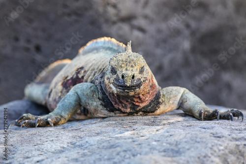 Photo  Marine iguana on Espanola Island, Galapagos National park, Ecuador