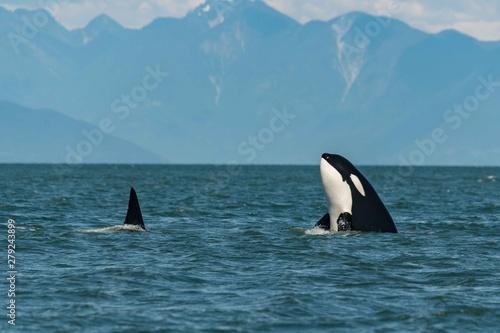 Fototapeta Killer whale spy hop