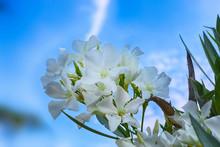 White Oleander (Nerium Oleande...