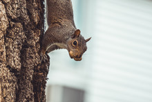 Gray Squirrel Climbing Tree Trunk Holding Peanut In Mouth