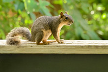 Young Fox Squirrel On Ledge