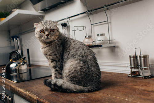 Obraz adorable grey scottish fold cat sitting on Kitchen Counter - fototapety do salonu