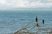 A Bunch Of Pied Shag Standing On A Tree With Ocean As Background