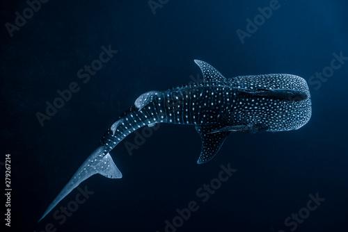 Whale Shark High Contrast