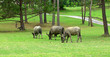 canvas print picture - water buffalo on green meadow with pine forest on background. pine forest park