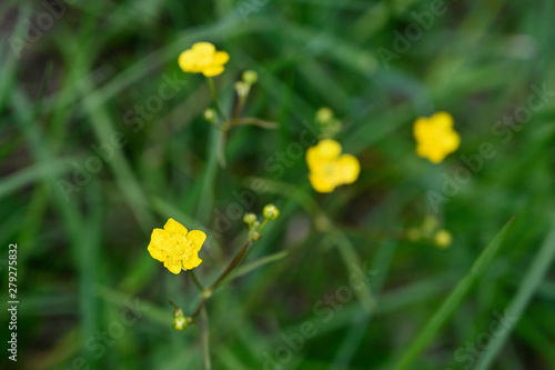 Ranunculus acris and yellow flowers in the meadow. Canvas Print
