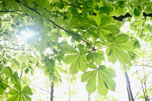 Bright And Fresh Green Chestnut Leaves And Twig.