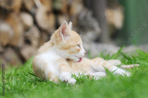 obraz PCV red kitten lying on meadow in the garden and preening fur