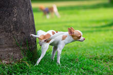 Cute Small Dog Peeing On A Tree In An Park.