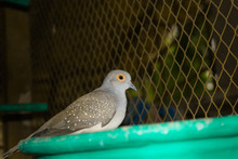 Close Up Of Spotted Dove In A Cage