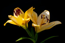 Two Flowers Of Yellow Lily On Black. Wallpaper Background