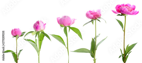 Cadres-photo bureau Fleuriste Beautiful peony flower on white background