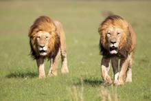 Schwarzmähnige Löwenbrüder