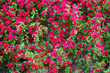 Leinwandbild Motiv Red climbing roses in full bloom covering a wall of a roadside country house