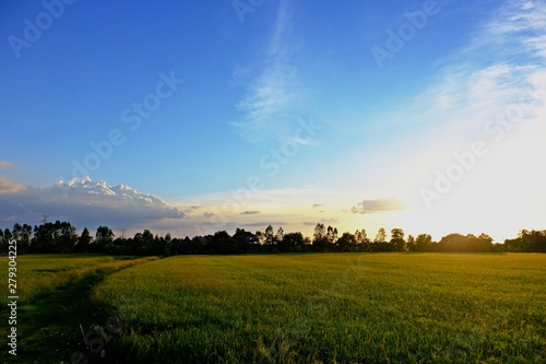Spoed Foto op Canvas Blauwe hemel Rice field turning yellow with warm afternoon sunlight and blue sky as background.