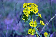 Euphorbia Esula (green Or Leafy Spurge) Blooming Flowers  On Grassy Meadow Close Up Macro Detail, Blurry Background