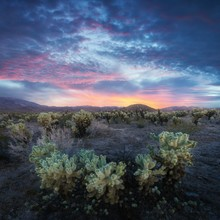 Cholla Cactus Garden In Joshua Tree National Park At Sunset. In This National Park The Mojave Desert And The Colorado Desert Ecosystems Come Together. California, USA