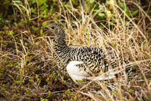 Willow Ptarmigan (Lagopus Lagopus), Also Known As The Willow Grouse. Willow Ptarmigan In Summer Plumage Hides In The Grass In The Tundra. Wildlife And Birds Of The Arctic. Chukotka, Siberia, Russia.