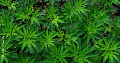 Macro of ecological and biological hemp plant used for herbal alternative medicines and cbd oil production Canvas Print