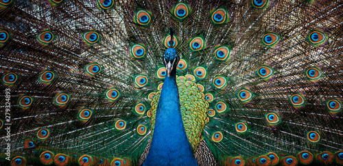 Foto op Canvas Pauw beautiful peacock