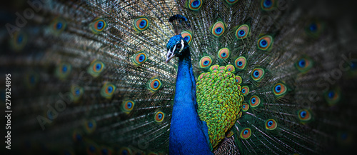 Fototapeta beautiful peacock obraz