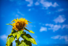 Summer Sunflower Against Blue Sky. A Single Mature Sunflower Is Viewed Closeup, Yellow Petals And Disk Florets Are Seen With Large Green Leaves, Isolated Against Blue Sky With Copy Space On Right