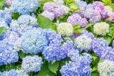 カラフルな紫陽花の花
