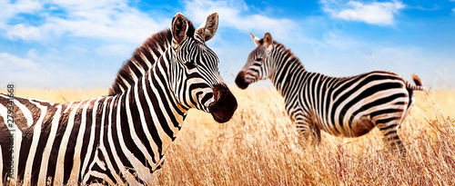 Zebras in the African savannah. Serengeti National Park. Africa. Tanzania. Wide format.