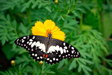 Image Of Lime Butterfly(Papilio Demoleus) Is Sucking Nectar From Flowers On A Natural Background. Insects. Animals.