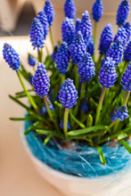 Bright Muscari Flowers In The ...