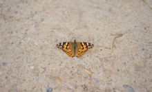 Orange And Brown Butterfly Perched On The Ground