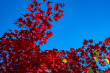 Red Acer Leaves In Autumn Agai...