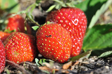 Close-up Of Ripe Strawberry In...