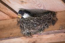 Swallow (Hirundinidae) In The Nest Is Being Fed, Open Beak