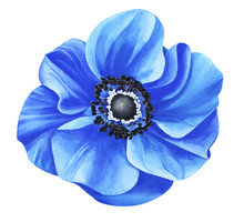 Watercolor Blue Anemone Isolated On White Background