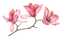 Pink Magnolia Branch Isolated On White Background. Watercolor Illustration.