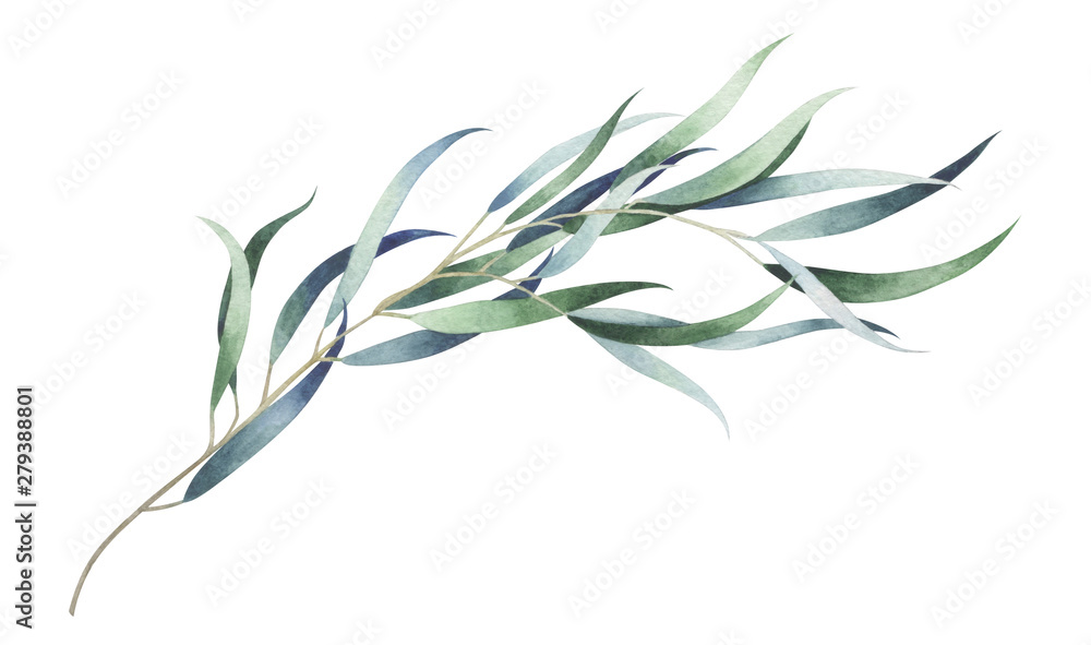 Fototapeta Eucalyptus branch isolated on white. Watercolor hand drawn illustration.