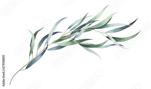 Fotografia  Eucalyptus branch isolated on white