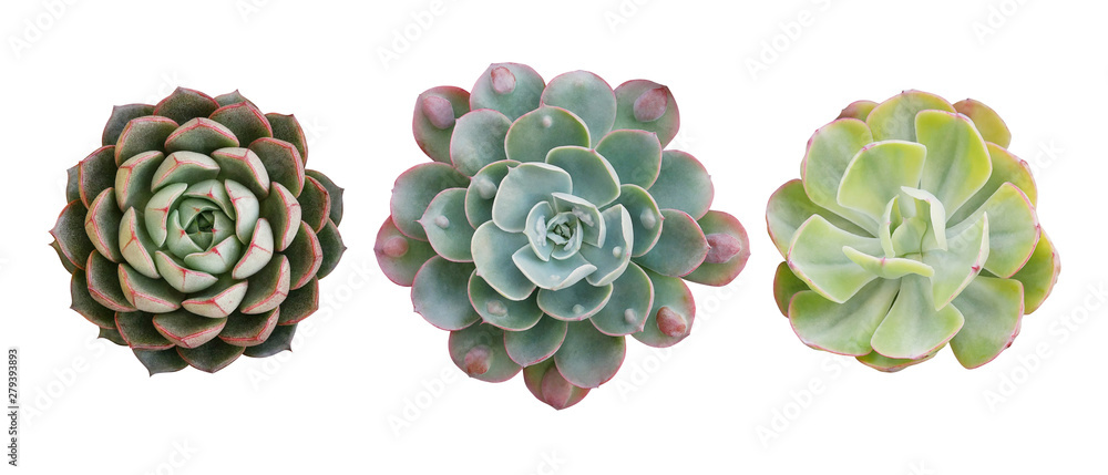 Fototapeta Top view of small potted cactus succulent plants, set of three various types of Echeveria succulents including Raindrops Echeveria (center) isolated on white background with clipping path.
