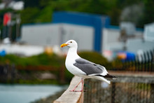 Proud Seagull Perches While Wa...