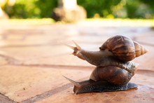 Two Giant Snails Stacked On To...