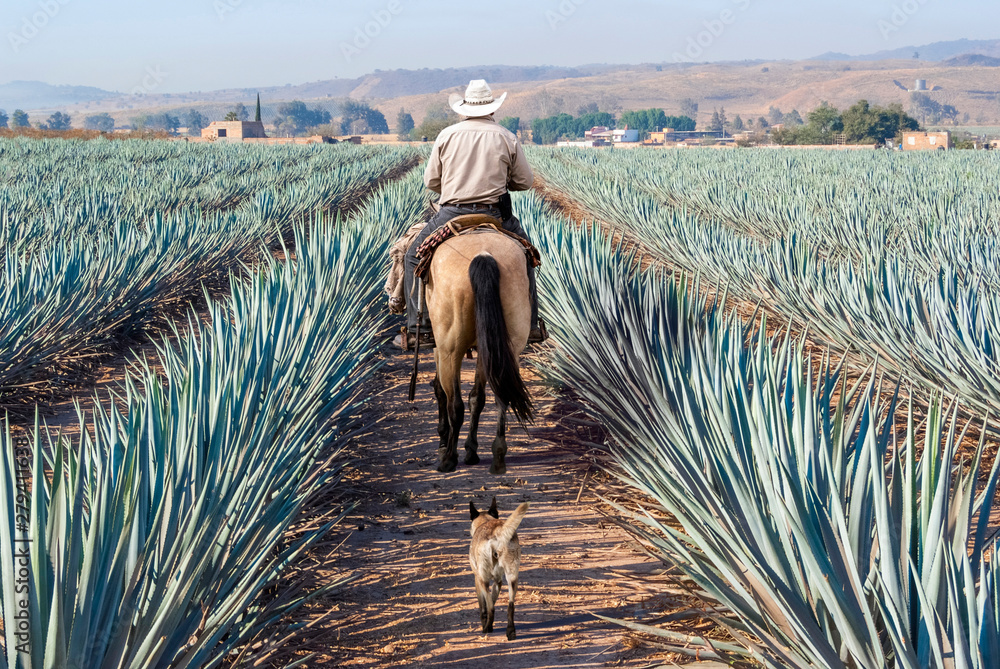 Fototapety, obrazy: Farmer on his horse walking in his agave seed.