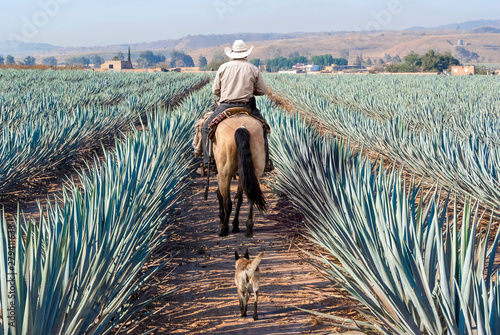 Foto auf AluDibond Himmelblau Farmer on his horse walking in his agave seed.