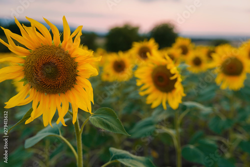 Poster Zonnebloem Sunflowers field at sunset