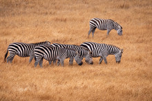 A Herd Of Zebras Grazing In A Golden Grassland  In California.