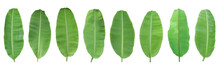 Set Of Green Banana Leaf Isolated On White Background. With Clipping Path