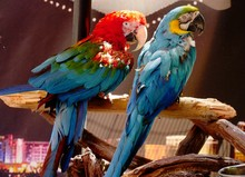 Full Back Side View Of Two Colorful Parrots, Soft Background