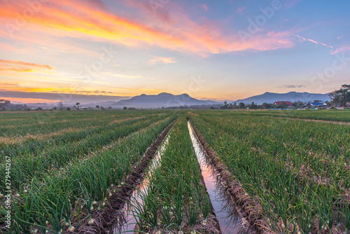 Row on the onion spring farming with mountain and sunset background Fototapete