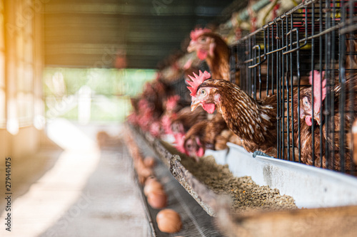 Photo sur Toile Poules Egg chicken farming background. Eggs in try and chicken eating food at farm.